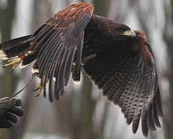 Fens Falconry